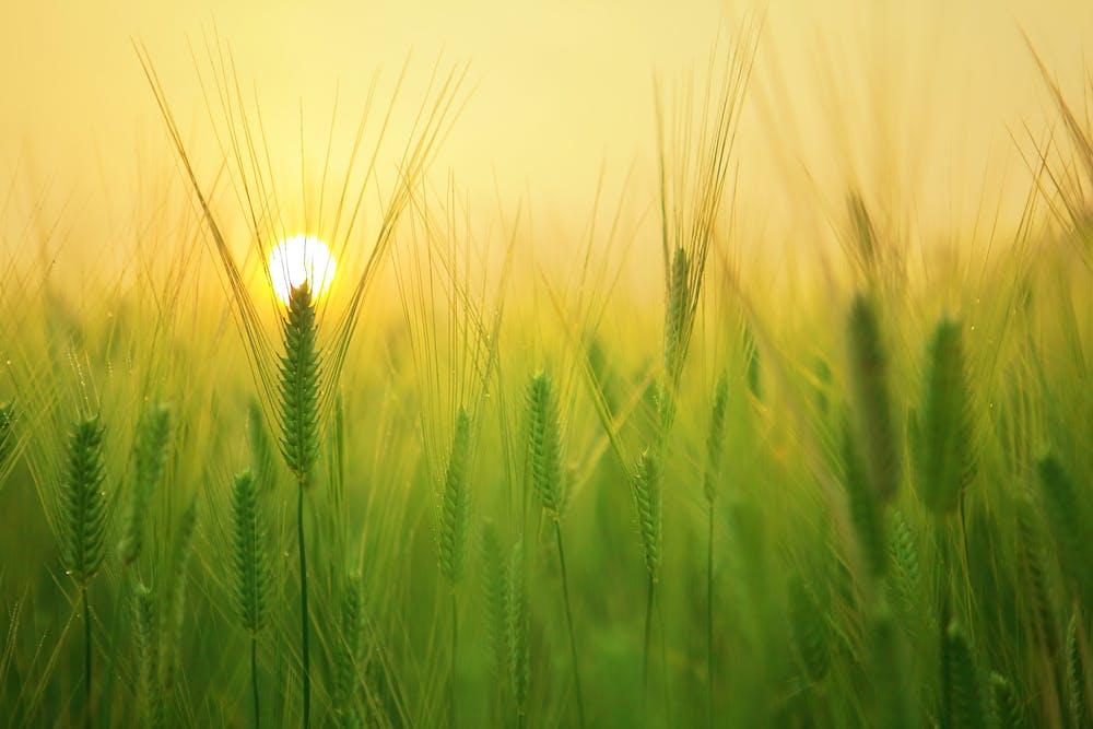 pšenice obilí